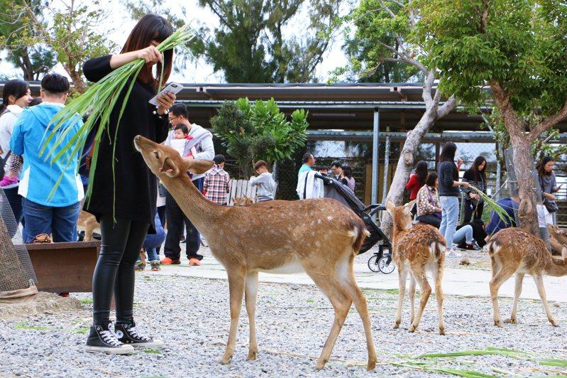除了墾丁復育的台灣梅花鹿,部分民間牧場或鹿園的梅花鹿,會開放民眾餵食。圖/聯合報系資料照片