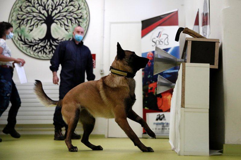 法國研究發現,狗經特殊訓練後能藉由嗅聞人類腋下,辨別是否感染新冠肺炎。路透