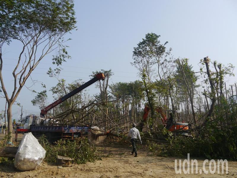 仁武產業園區上月動工,工人正在移植台糖地上造林20年的高大林木。記者徐白櫻/攝影