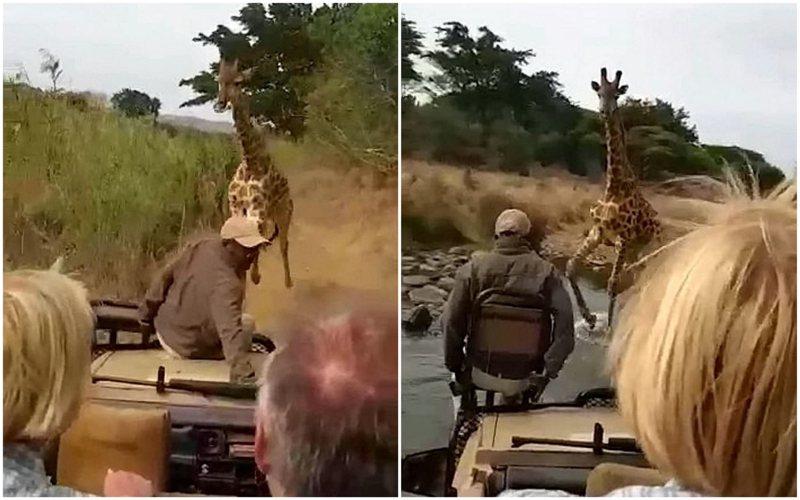 国外一名男子上周参加非洲丛林观光团,没想到竟遇上一只「暴走」的长颈鹿紧追不舍,好几次差点踩到车上,让游客全都吓傻。Dicken Muchena(photo:UDN)