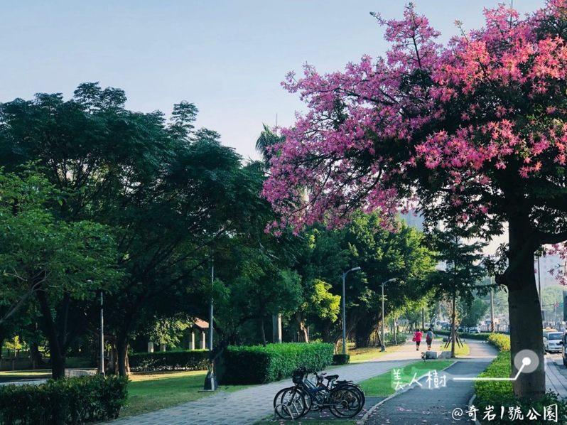 奇岩1號公園內的「美人樹」花況茂盛,在遠處即可看到美豔的粉紅美人。圖/北市公園處提供