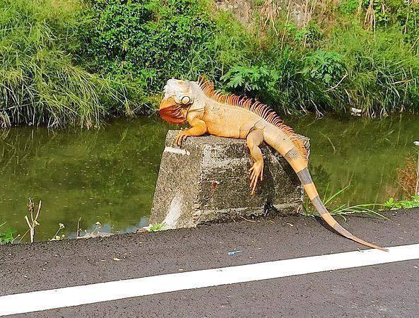 屏東民眾在排水溝旁發現「巨大綠鬣蜥」。圖/取自臉書粉絲團「屏東迷」