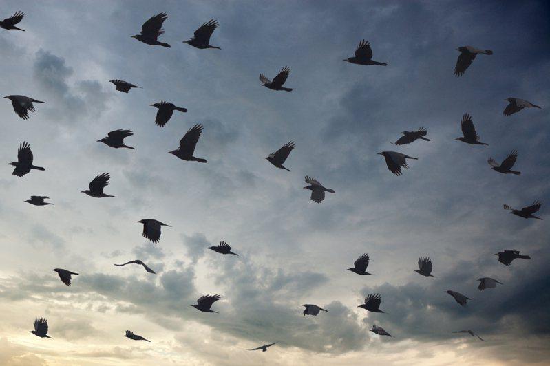 加拿大安大略省一处公寓外,日前出现上百只乌鸦聚集盘旋飞行逾14小时,且不断发出凄惨的啼叫声,让人看了心生害怕。图为示意图。图/ingimage(photo:UDN)