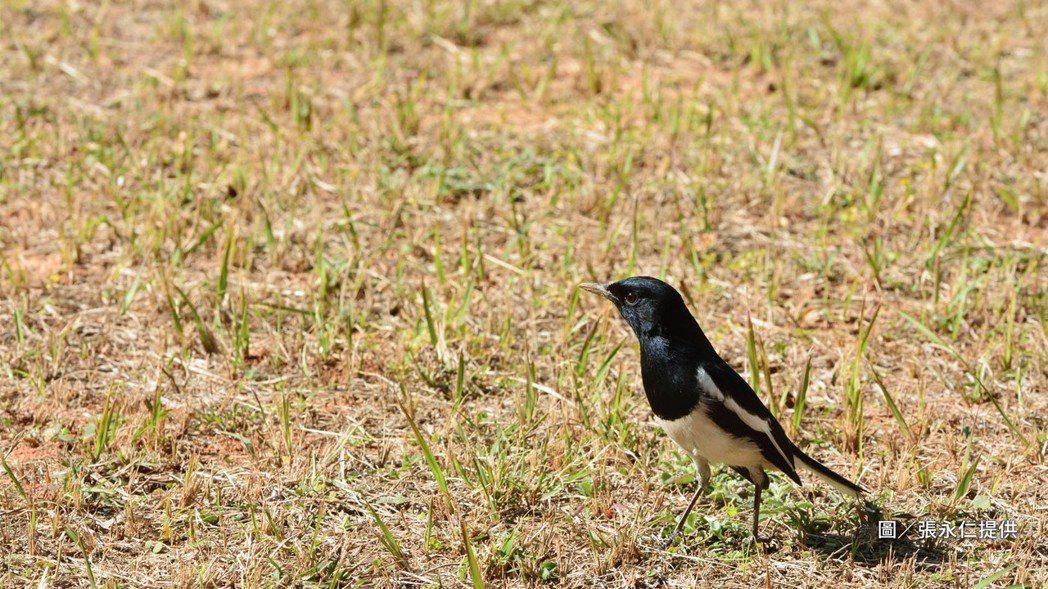 張永仁當年意外拍攝下的鵲鴝近照,不靠任何輔助手法,只靠一顆耐心。圖/張永仁提供