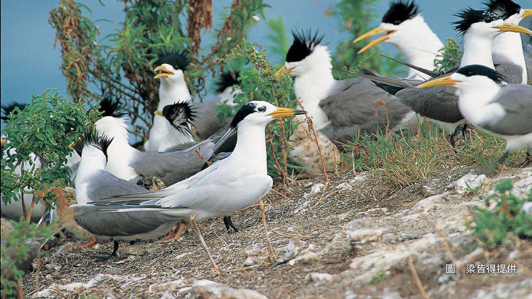 黑嘴端鳳頭燕鷗全球僅剩百餘隻,牠總混在一大群燕鷗群中,最容易被觀測的特徵僅有嘴尖...