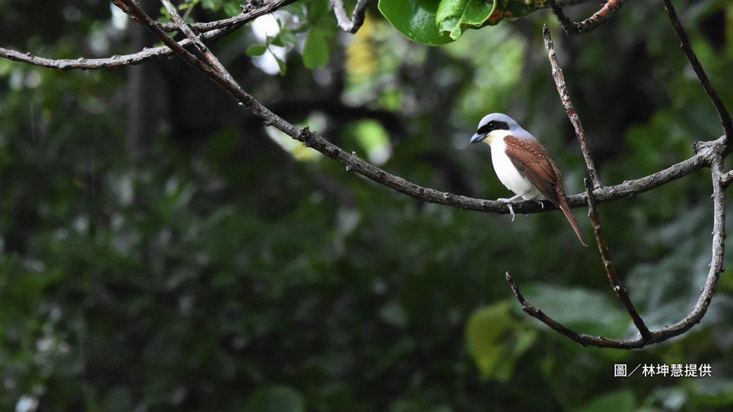 另一位鳥友林坤慧的作品,則透過構圖強調自然生成圓弧狀的枝條,讓歇腳中的虎紋伯勞彷...