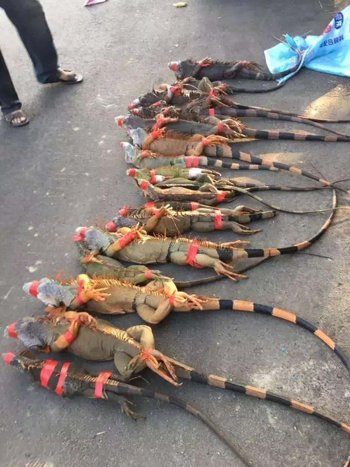 民間獵人組成「彈弓射捕綠鬣蜥團」將捕獲綠鬣蜥擺在地上五花大綁,彷彿通緝犯落網。圖/袁安男提供