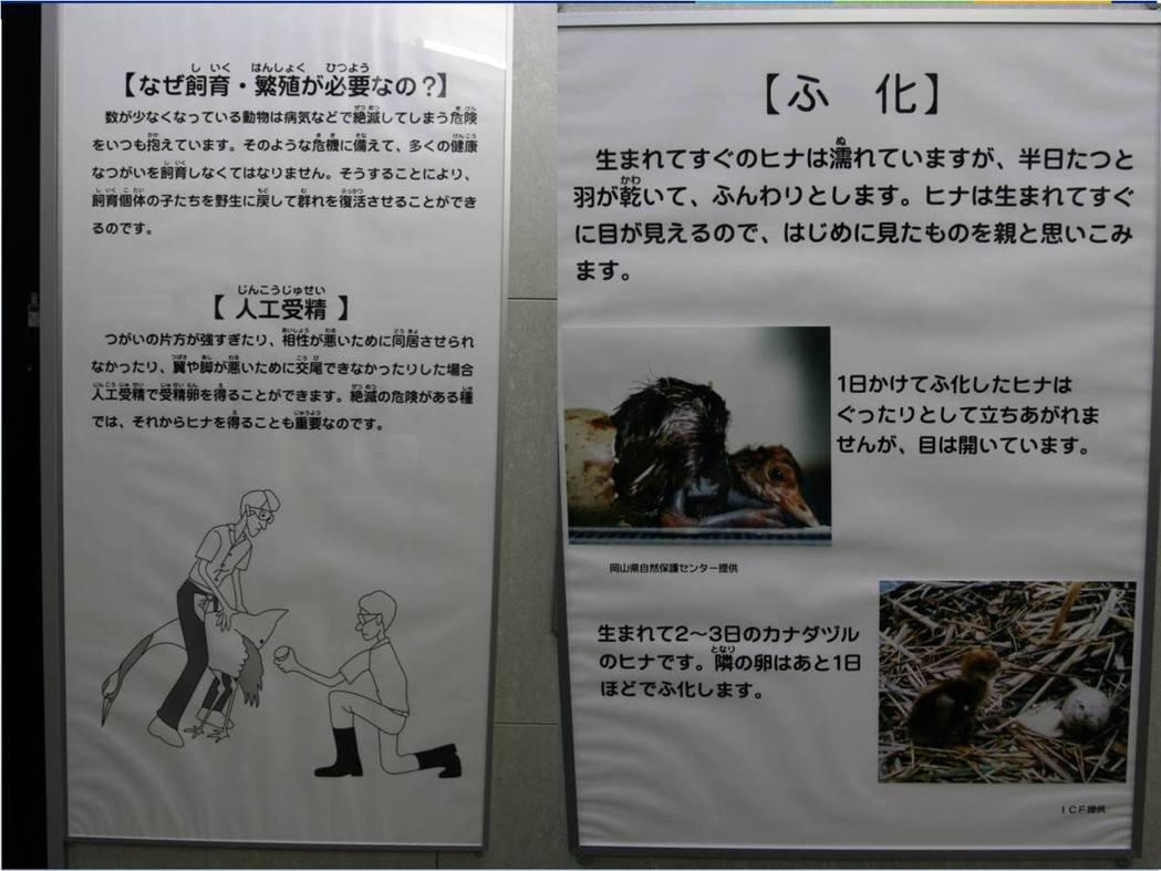 日本復育丹頂鶴時,皆有專家參與,並詳細掌控族群健康。圖/山林藪記提供