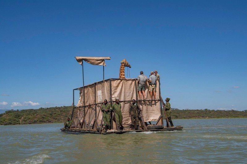 位于肯亚西部的巴林哥湖最近因暴雨不断,引致水位上涨,令附近的陆加罗岛将近淹没,当中8只濒危的长颈鹿因此被困在岛上,动保组织于是造船搭救。图撷自「NorthernRangelandsTrust」(photo:UDN)
