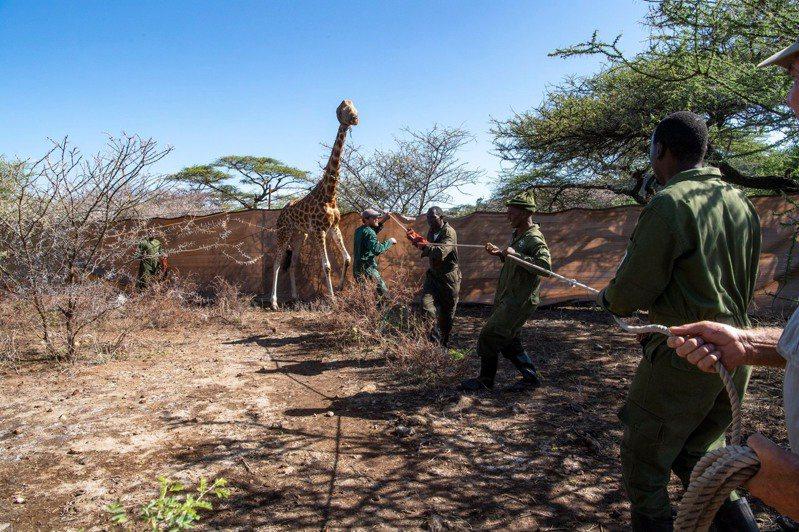长颈鹿不知道人们是前来搭救,保持警戒。图撷自「NorthernRangelandsTrust」(photo:UDN)
