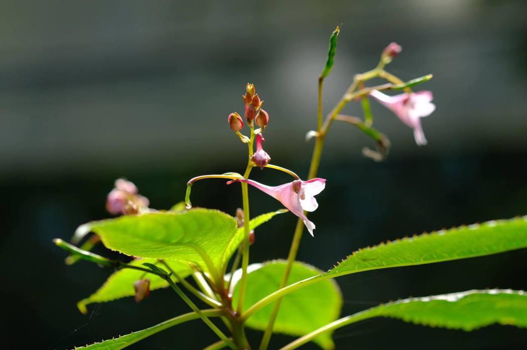 棣慕華鳳仙花僅限於雪霸國家公園觀霧海拔兩千公尺的山區,為特稀有植物。 圖/林試所提供