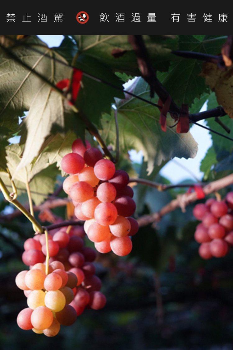 彰化二林的蜜紅葡萄。圖/摘自PEKOE官網。提醒您:禁止酒駕 飲酒過量有礙健康。