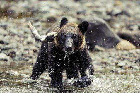 為什麼熊襲事件越來越多?日本的相關學者專家指出,背後的原因和日本的氣後、社會結構...