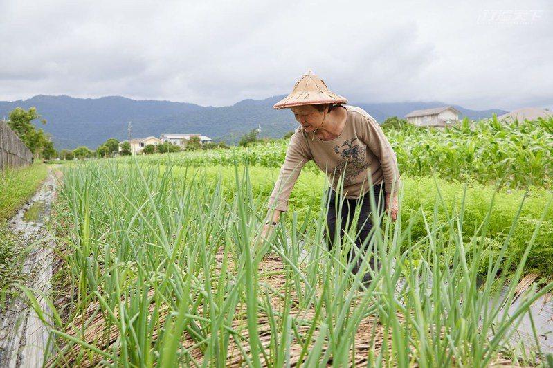 張美在行健村推行有機種植多年,連三星蔥都能種有機。