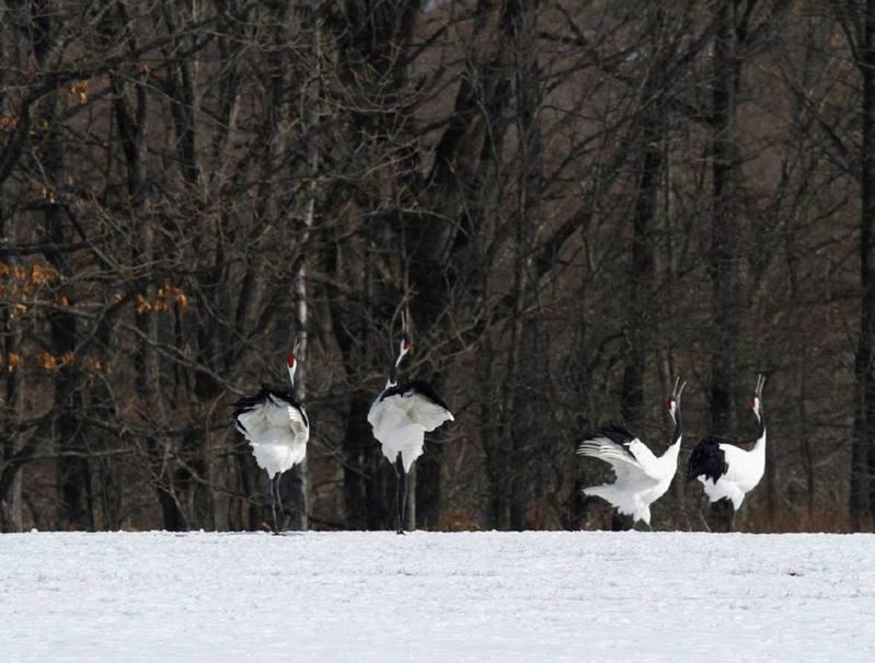 日本北海道冬季食物稀少,當地透過禁獵、棲地保存與冬季餵食來保育丹頂鶴,族群數量從不到50隻成長到上千隻。圖/生態工作者蔡育倫提供