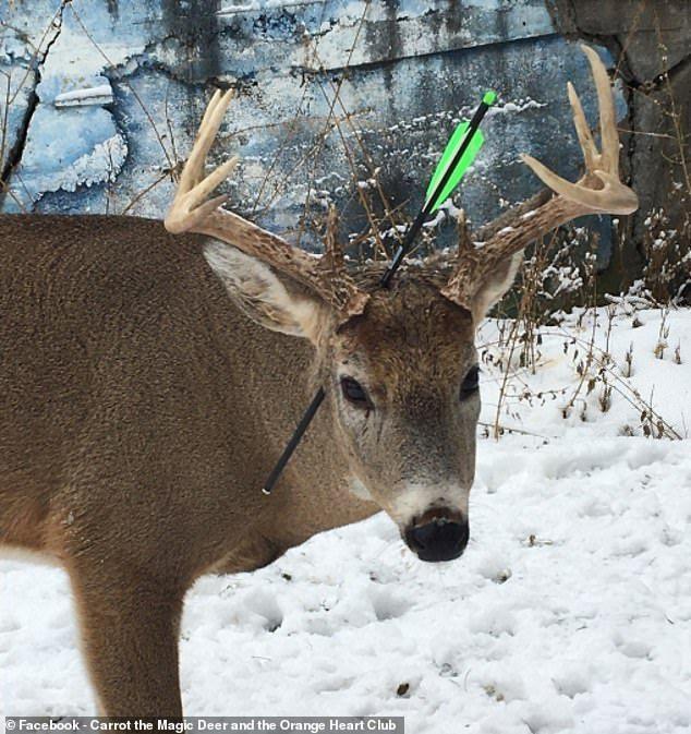 加拿大安大略省法规允许居民在市区内用弓箭射鹿,虽然小鹿头部遭箭射穿却仍对人类相当友善。图撷自(photo:UDN)