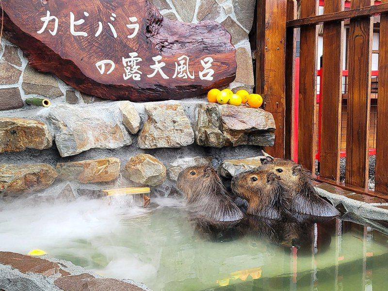 水豚君泡湯樣子超呆萌。圖/宜蘭ㄚ欣的美食日誌授權