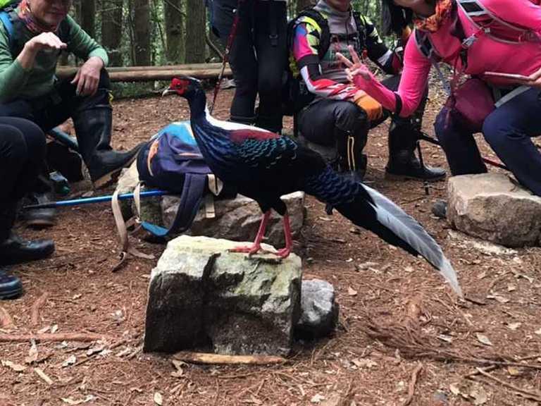 大雪山林道附近的登山路徑上,生性機警的藍腹鷴站在山友間,絲毫不怕人;拍攝的山友說,人一到鳥就出來索食,在高山常見這種奇怪現象。圖/張義昌提供