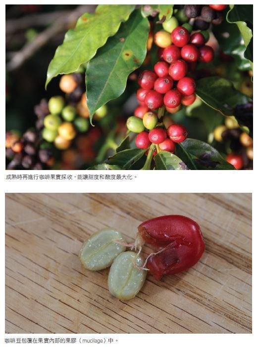 圖/摘自《咖啡烘豆的科學》