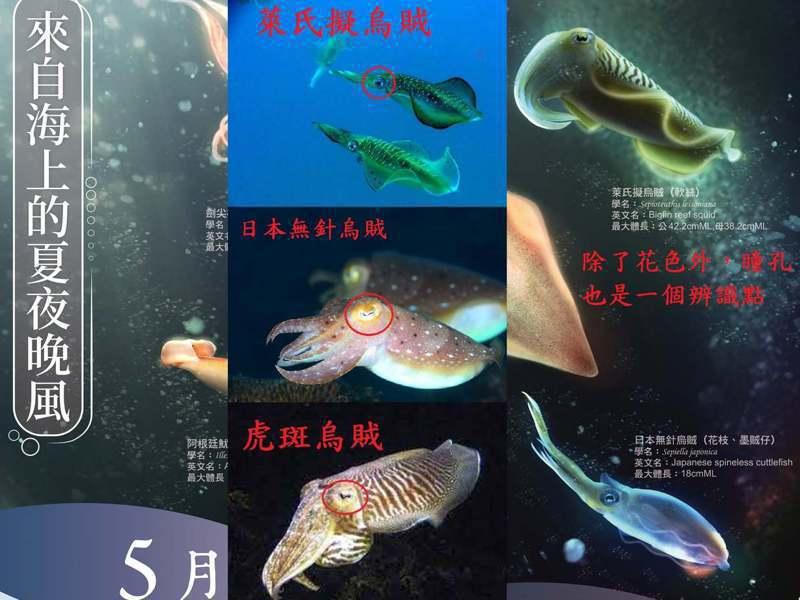 漁業署2021月曆,把花枝說成是軟絲,「指花為軟」鬧笑話。圖/社團法人臺灣永續鱻漁發展協會提供
