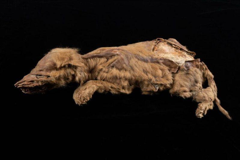 这只7周大的狼宝宝是目前发现最古老的狼。图/取自(photo:UDN)