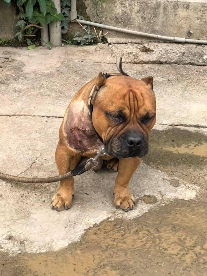 無辜被輾的狗狗是隻「惡霸犬」,是體型壯碩、看似兇猛但個性溫和的犬種。 圖擷自爆廢1公社