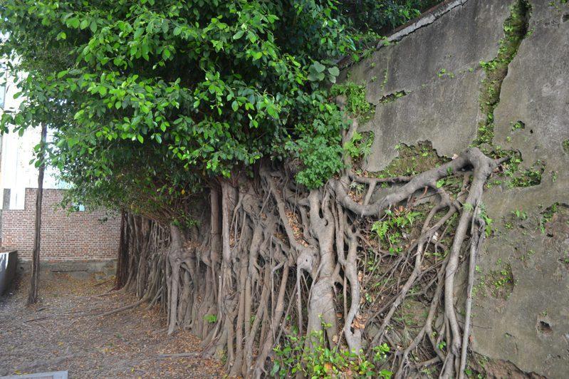 台南女中校園內的古蹟城牆,有榕樹攀生,擔心會破壞古蹟。記者鄭惠仁/攝影