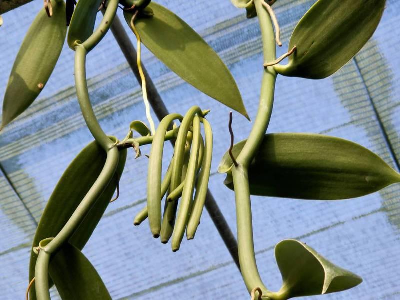 南投縣埔里、國姓地區農民投入種植香莢蘭,栽種面積已達2公頃。記者賴香珊/攝影
