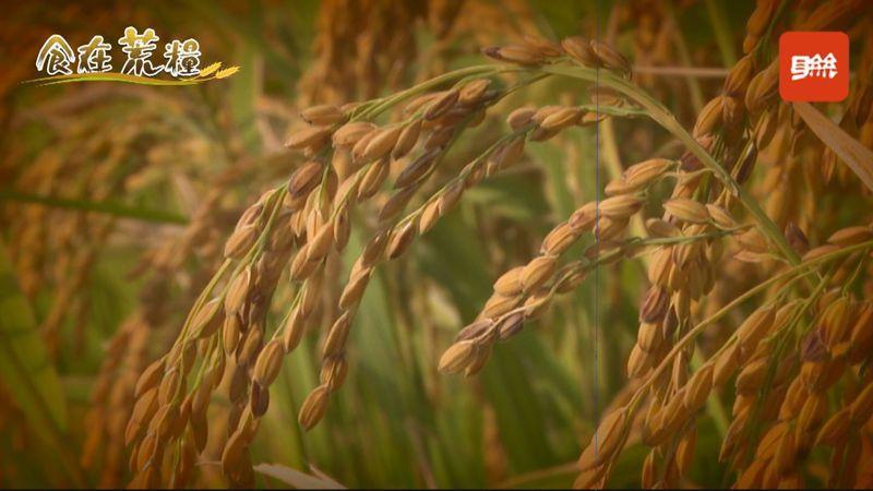 為了挽救台灣糧食自給率,2011年政府召開全國糧食安全會議,目標欲在2020年達到糧食自給率40%,不過近十年糧食自給率皆在30%左右,今年又因新冠疫情影響、多處農地缺水停灌,糧食自給率十年目標恐已宣告失敗。記者顏凱勗/攝影