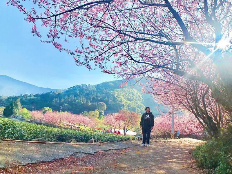 ▲全台櫻花季賞櫻景點推薦-信義鄉草坪頭。(圖/lifestyle0981, Instagram)