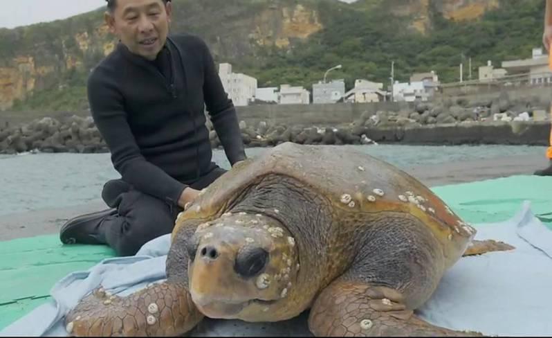 今年10月,野柳海域出現百公斤大赤蠵龜體力不支擱淺,潛水人員及海巡救援,送海大救治。記者游明煌/翻攝
