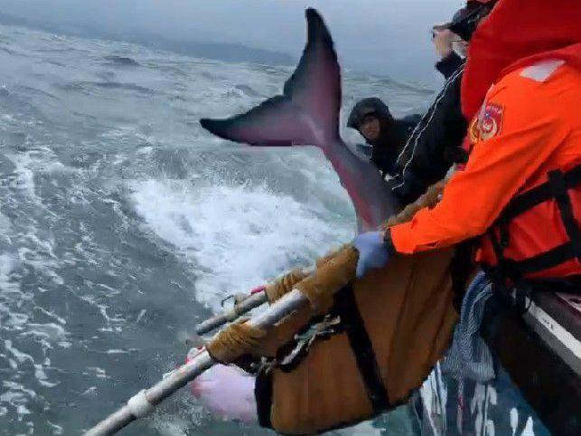 11月底一隻小抹香鯨擱淺萬里沙灘,當天救援後即從碧砂漁港出海野放回大海。圖/基隆市政府提供