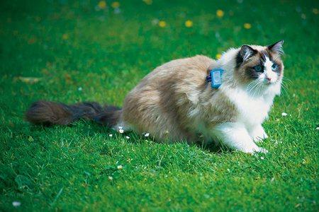 圖說:參加研究的貓咪戴上GPS裝置,裝置記錄下牠們的蹤跡(照片/美國國家地理會社提供)