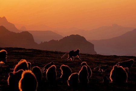 圖說:一群狒狒在衣索比亞的塞米恩山國家公園覓食。狒狒遷徙前,會透過類似民主投票的方式做出集體決定(照片/紐約時報提供)