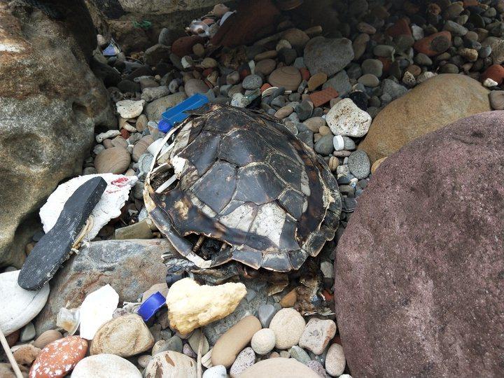 志工曾在基隆外木山淨灘時,發現死亡多時海龜體內體外都是垃圾。記者游明煌/攝影