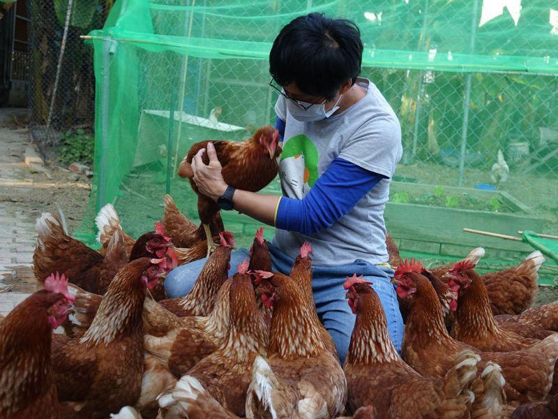 高雄仁愛之家與食二糧生活實業社推動「友雞生活計畫」,照顧年長者結合養寵物蛋雞,效果不錯。記者楊濡嘉/攝影