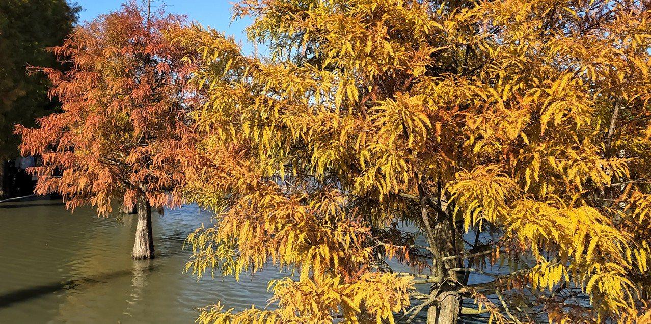 台灣所謂的「落羽松」(Bald cypress),其實是杉科落羽杉屬,稱作「落羽...