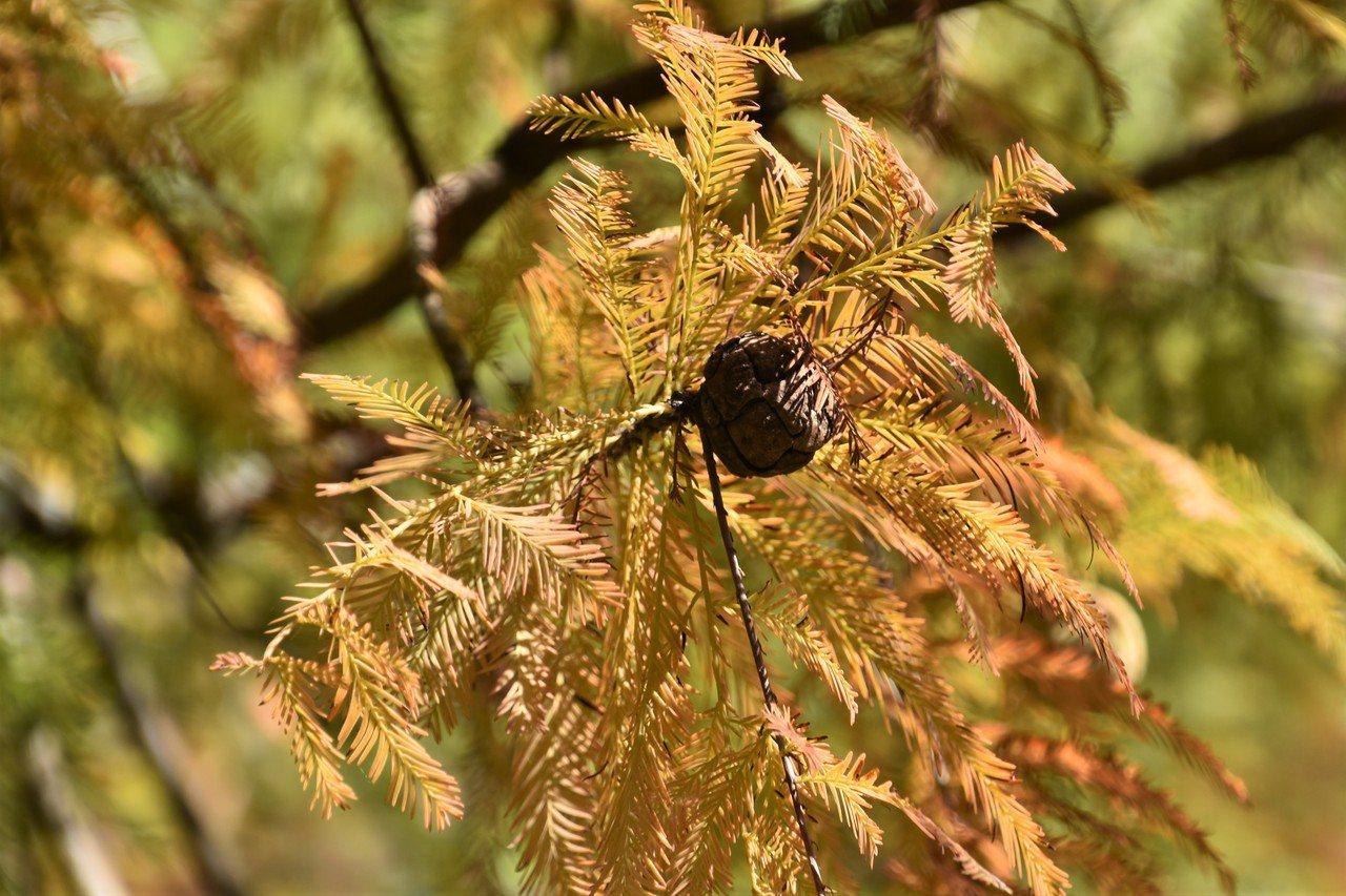 秋收過後,周遭田地已灌水等待耕種;留置枝上的洛神葵果實紅透卻無人理睬;誤判季節的...