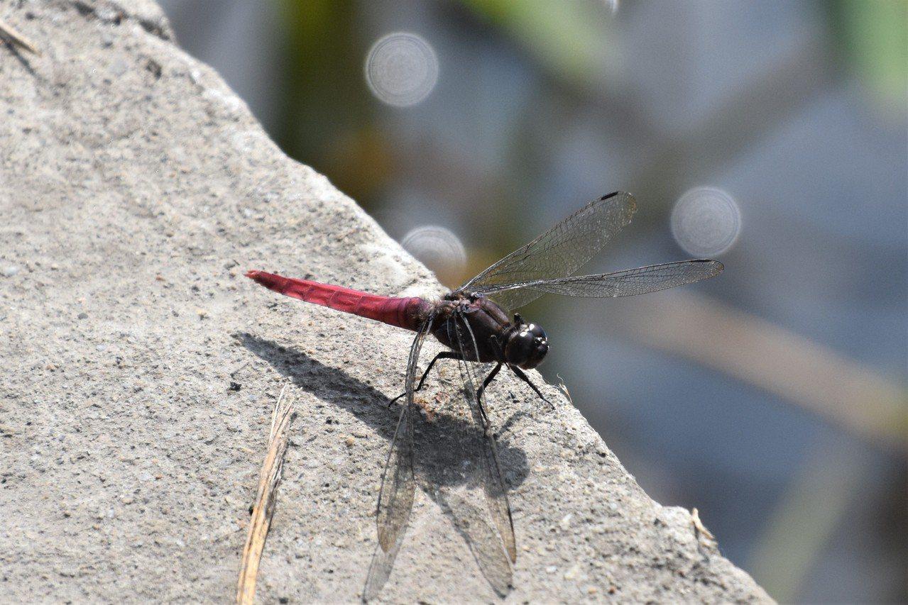 冬陽下,水漾間,點水蜻蜓款款飛,毫不在乎林木變色,也不理會遊人如織。 圖/沈正柔...