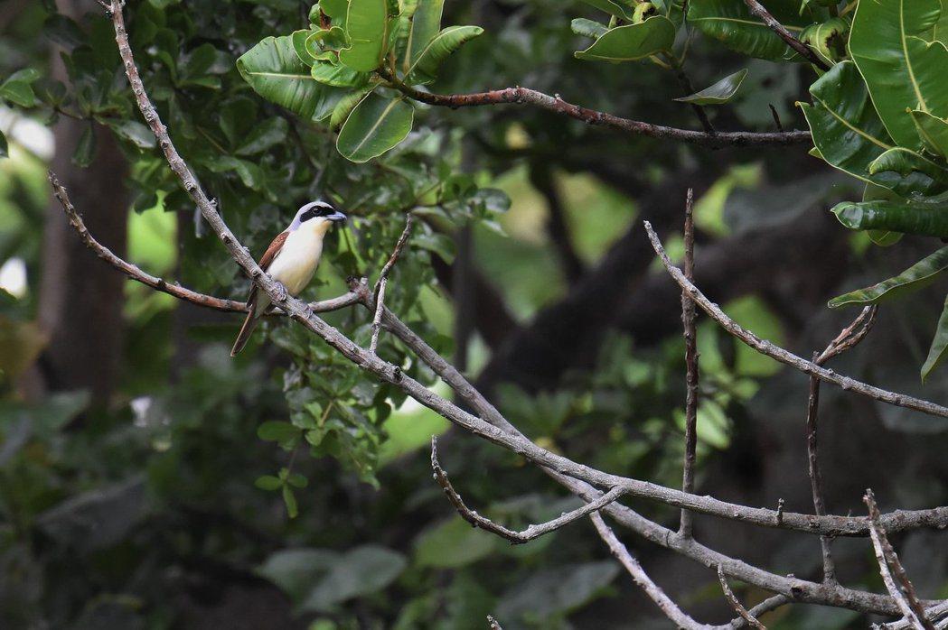 林坤慧還說,在台灣境內觀測到的虎紋伯勞多為幼鳥,少有成鳥出現,更顯得這隻個體留下...