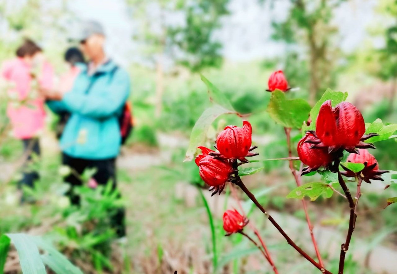 鹿鳴自然農園裡的植物亂中有序,但只有鄭玉桂找得出來。 圖/鹿鳴自然農園提供