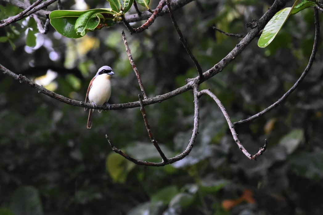 虎紋伯勞和紅尾伯勞不同,在台灣屬於稀有過境鳥,其正常遷移路線不會經過台灣本島,過...