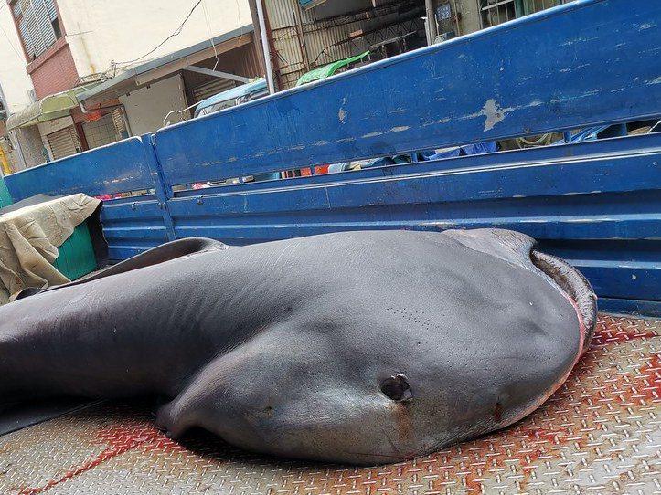去年11月漁業署再發布禁止捕撈巨口鯊,學界悲觀認為不會有漁民想通報,通報制度形同虛設。圖/漁業署提供