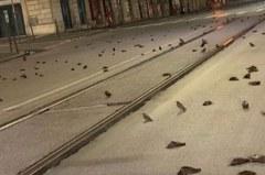 新年剛過竟出現「末日景象」! 羅馬數百隻鳥當街暴斃死亡