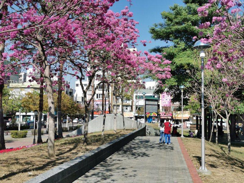 嘉義市文化公園紅花風鈴木陸續盛開,拉開嘉義市賞花序幕。記者卜敏正/攝影