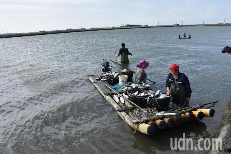 去年底至今年元旦的寒流侵襲,造成雲林沿海地區虱目魚被凍傷、凍死,漁民趕緊撈池以免影響魚塭其他物種。記者陳苡葳/攝影