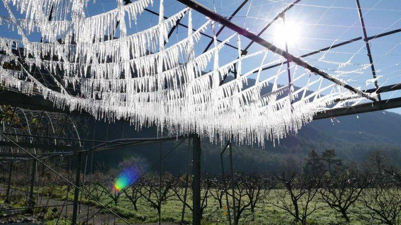 武陵農場的桃子園溫室,為防澆灌系統結冰持續開水,結果因氣溫低竟成一片冰柱。圖/取自武陵農場臉書粉絲項