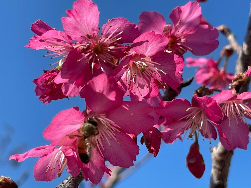 彰化71歲「神農獎」得主張洲府長期研究與栽培櫻花、梅花,近年成功培育新品種「報春」現已開花。記者林敬家/攝影