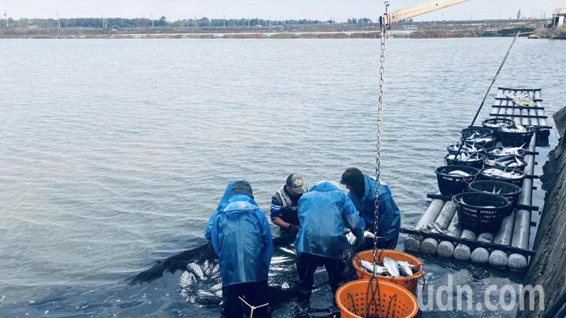 養殖業者趁寒流前搶收魚獲。圖/嘉義縣政府提供