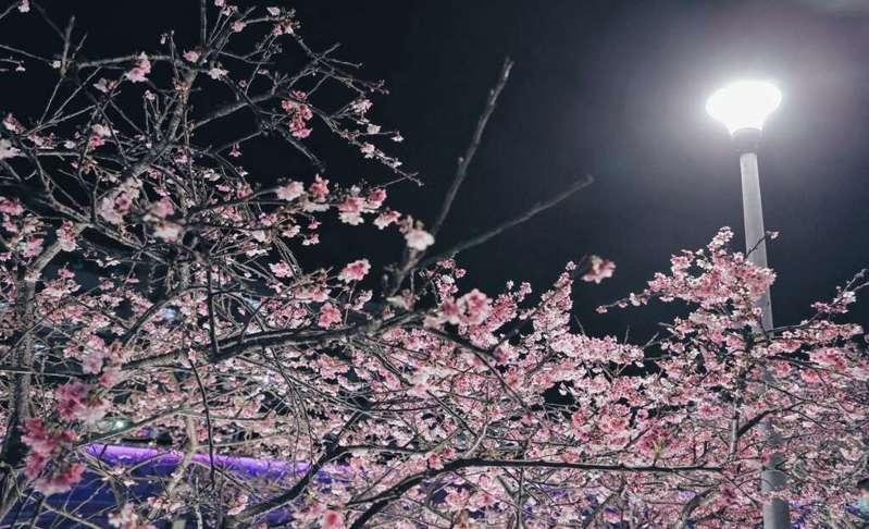 淡粉色系的櫻花在夜間也漂亮指數爆棚。圖/臺北旅遊網